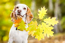 Beagle with fall leaves
